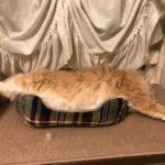 冷え性猫ちゃんのお腹の温め方