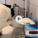 子猫があれをやっちゃいました! 猫あるある、猫のお困りごとありますか?