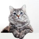 猫の突然死はなぜ起こるのか?